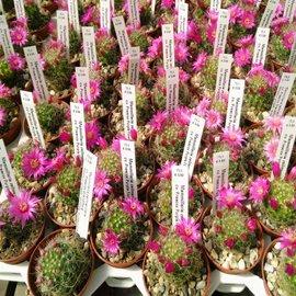 Mammillaria zeilmanniana  cv. Praecox Purple Flower