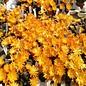 Rebutia diersiana WR 633 v. atrovirens Department Chuquisaca, Camargo, Culpina