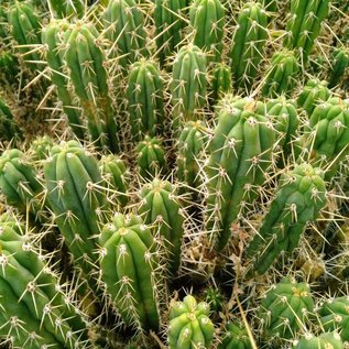 Trichocereus peruvianus boutures non racinées