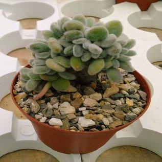 Echeveria pulvinata cv. Frosty     cristata