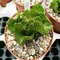 Euphorbia pugniformis     cristata