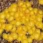 Delosperma congestum cv. Golden Nugget       (dw)