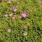 Delosperma nubigenum cv. Rosenteppich      (dw)