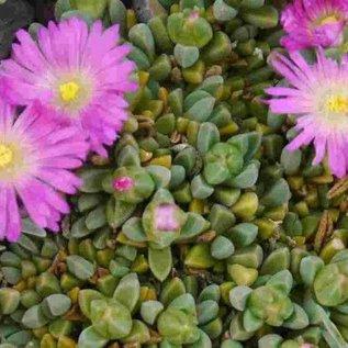 Delosperma Lesotho pink       (dw)