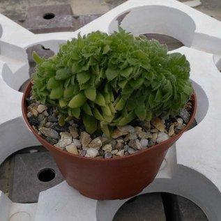 Aeonium tabuliforme     cristata