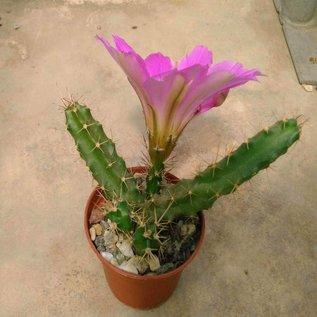Echinocereus pentalophus  Form Ritter