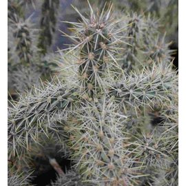 Cylindropuntia imbricata  DJF 928.19 Union Co., New Mexico, USA    (dw)