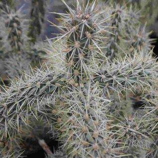 Cylindropuntia imbricata   Union Co., New Mexico, USA    (dw)