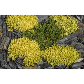 Sedum acre Yellow Queen      (dw)