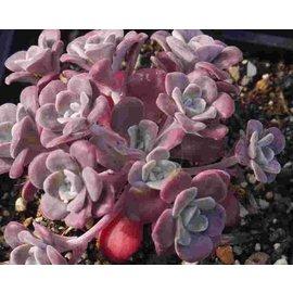Sedum spathulifolium Purpureum      (dw)
