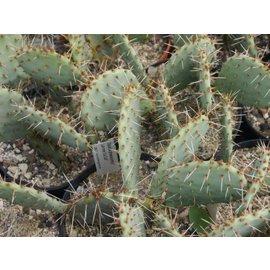 Opuntia phaeacantha Larimer  Co., Colorado    (dw)