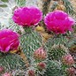 Opuntia polyacantha DJF 1138 v. hystricina Bernalillo Co., NM, USA    (dw)