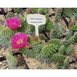 Opuntia polyacantha DJF 1631 v. juniperina Keams Cyn., AZ     (dw)