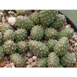 Opuntia rhodantha  cv. Torrey UT JB    (dw)