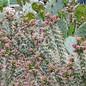 Cylindropuntia imbricata cv. Pinky      (dw)