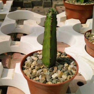 Euphorbia heterochroma