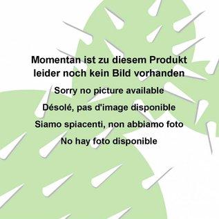 Echinopsis-Hybr.  `Volker ?`