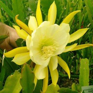 Epiphyllum-Hybr. Sizilia