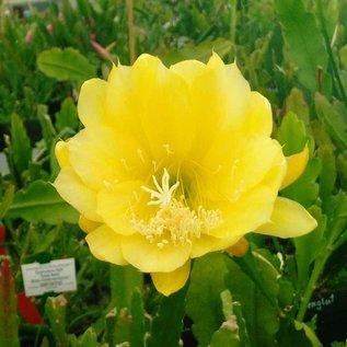 Epiphyllum-Hybr. Yellow Gem