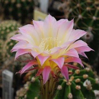 Echinopsis-Hybr.  `Shirley x Paramount yellow`