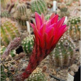 Echinopsis-Hybr.  `Trares 88 Rot`