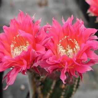 Echinopsis-Hybr.  `Serie 350`
