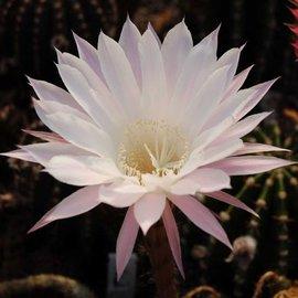 Echinopsis-Hybr. Paramount 10