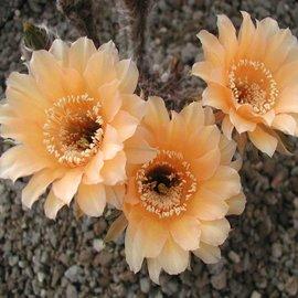 Echinopsis-Hybr. `Paramount 8` Indian Yellow