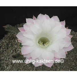 Echinopsis-Hybr. `Paramount weiß`