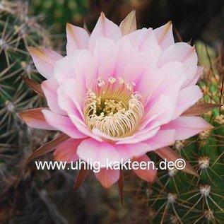 Echinopsis-Hybr. Passo CM 12 Yissel Estevez