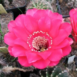 Echinopsis-Hybr.  `The best of my red flower`