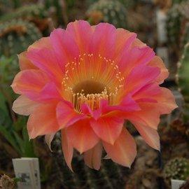 Echinopsis-Hybr. Passo CM 28 Andenken an Rolf Lichtblau