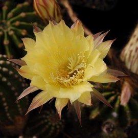 Echinopsis-Hybr. Passo CM 68 Soleira