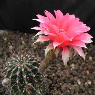 Echinopsis-Hybr. Romeo  Rheingold. 204