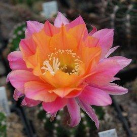 Echinopsis-Hybr. Rotorange