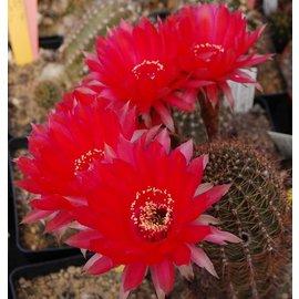 Echinopsis-Hybr. `Rubin von Muggensturm` Serie 334