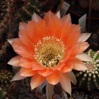 Echinopsis-Hybr. `Passo CM 56 Satya`