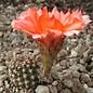 Echinopsis-Hybr. `Vatikan`  Uebelmann 3210