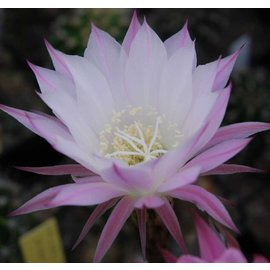 Echinopsis-Hybr. `Werner`  rosa