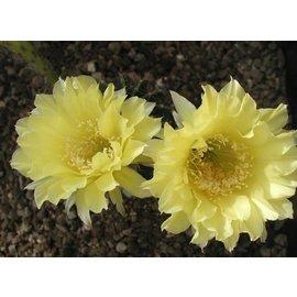 Echinopsis-Hybr. `Yellow Monarch`