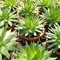 Aloe polyphylla  Spiral-Aloe Lesoto, Südafrika   CITES