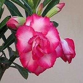 Adenium obesum cv. Exhibition Double Pink   gepfr.
