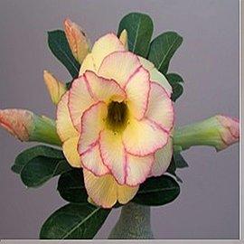 Adenium obesum cv. Yellow Fantasy   gepfr.