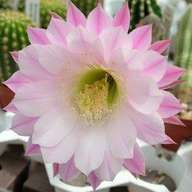 Echinopsis-Hybr. `purpureopilosa x Brigittes Beauty`