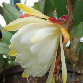 Epiphyllum-Hybr. Kiwi Honey Dew