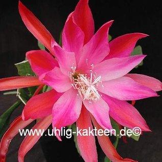 Epiphyllum-Hybr. Gladyce Jones
