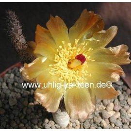 Pterocactus tuberosus       (dw)
