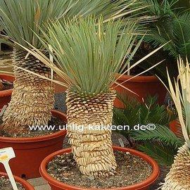 Yucca rostrata  Stamm 20-40 cm