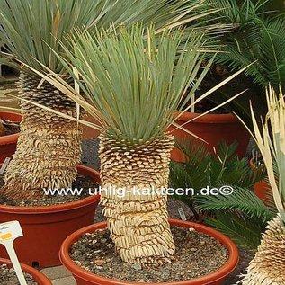 Yucca rostrata Stamm