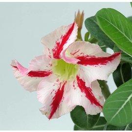 Adenium obesum cv. Jade Concubine   gepfr.